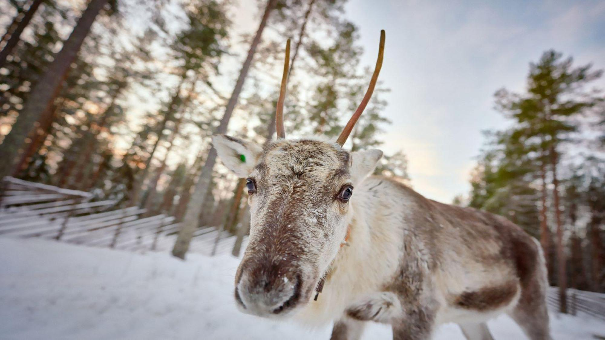 Reindeer looking at the camera in snowy winter environment.