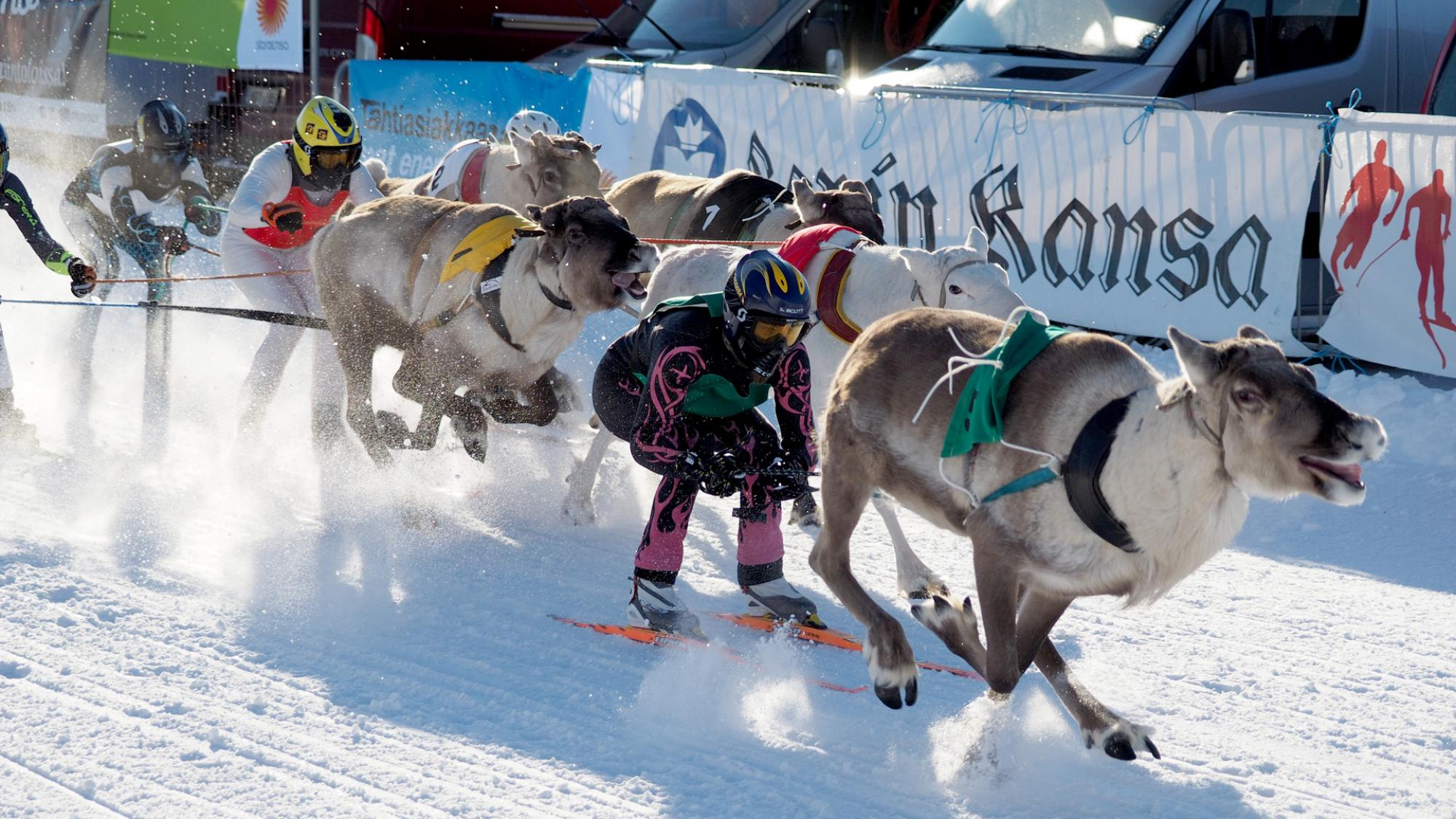 Porot juoksevat kilpaa lumisella aurinkoisella radalla ohjastajat suksilla perässä