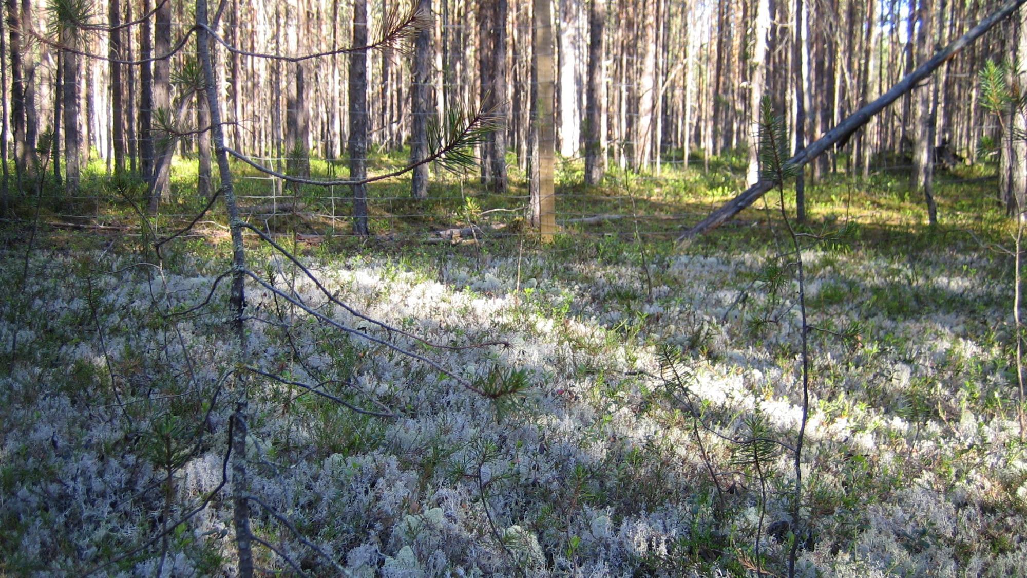 Metsää, jossa poroilta aidatun alueen ja laidunnetun alueen välinen ero näkyy jäkäläpeitteessä.