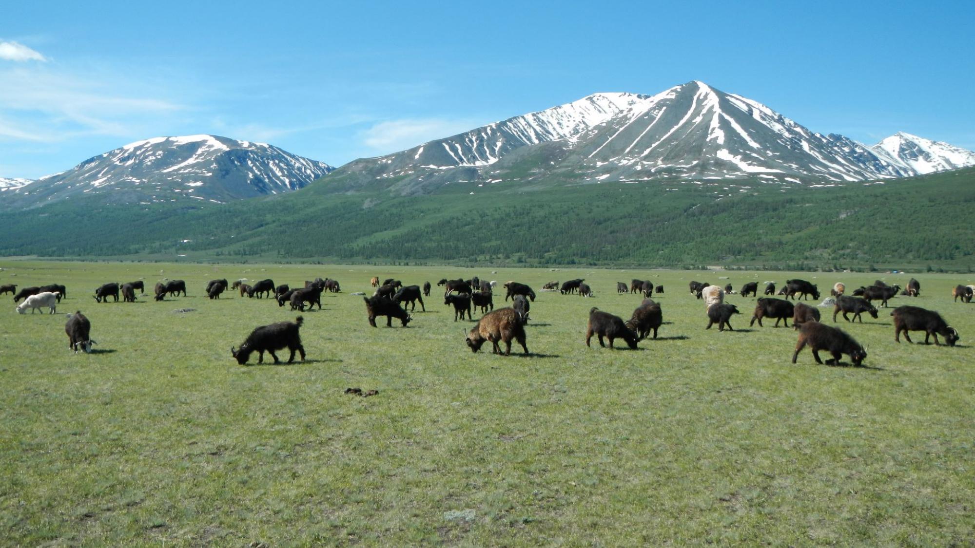 Vihreällä niityllä ruskeita lampaita, taustalla lumihuippuiset vuoret ja sininen taivas.